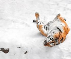 Snow tiger Stock Photo