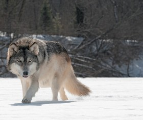 The gray wolf in the snow Stock Photo