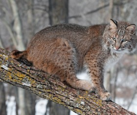 The lynx on the trunk Stock Photo