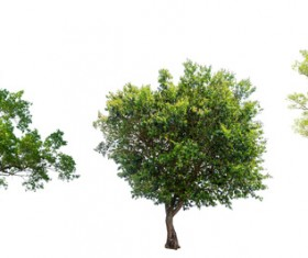 Tree Isolated on White Background Stock Photo 14