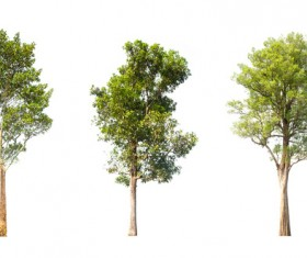 Tree Isolated on White Background Stock Photo 15