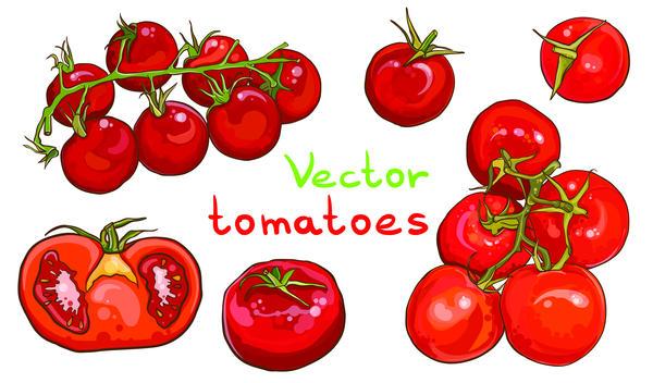 Vector tomato hand drawn material