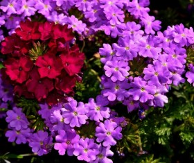 Verbena flowers HD picture