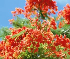 Western azalea flowers Stock Photo