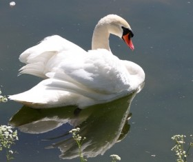 White Swan on the lake Stock Photo