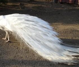 White feather peacock Stock Photo