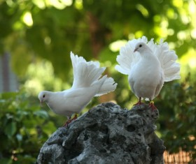 White pigeons HD picture