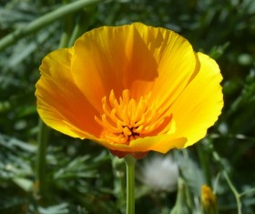 Yellow California poppy flower Stock Photo