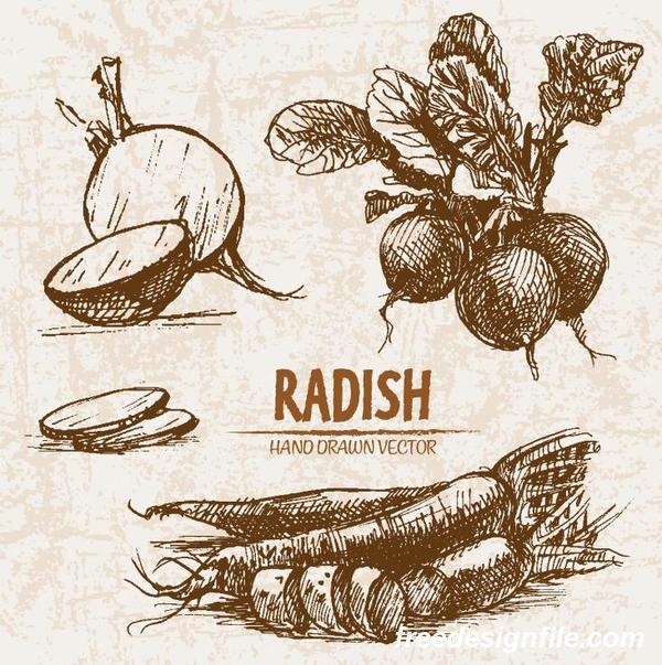 radish hand drawing retor vector 01