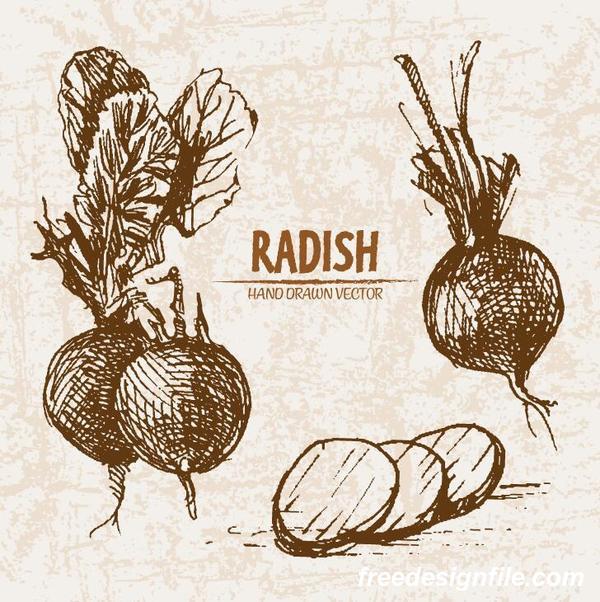radish hand drawing retor vector 04