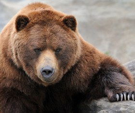 Adult grizzly bear Stock Photo