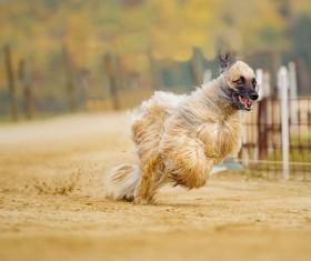 Afghan hound Stock Photo