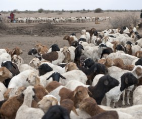 African sheep grazing Stock Photo