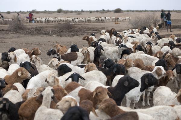 African sheep grazing Stock Photo