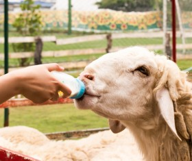 Artificial feeding of sheep HD picture