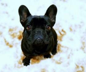Black Bulldog HD picture