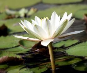Blooming white sleeping lotus flower Stock Photo 01