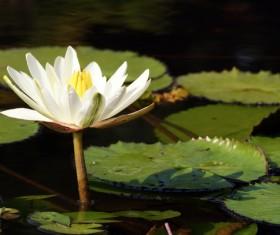 Blooming white sleeping lotus flower Stock Photo 02