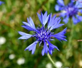 Blue cornflower HD picture
