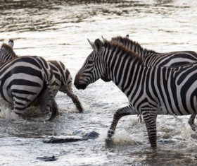 Cross the river zebra Stock Photo 02