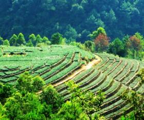 Dasan and tea garden Stock Photo