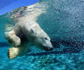 Diving polar bear Stock Photo