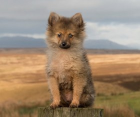 Dutch lion dog Stock Photo