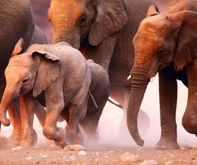 Elephant migration HD picture