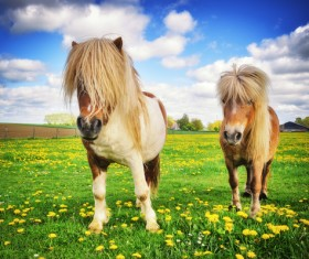 Farm dwarf horse Stock Photo