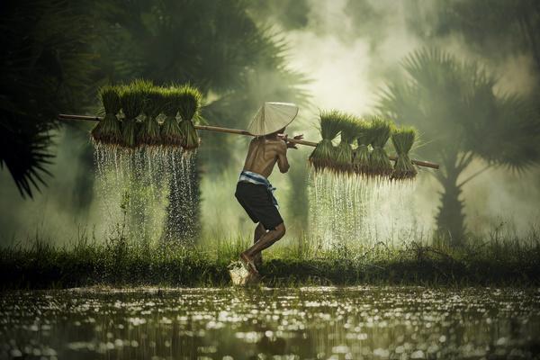 Farmers carrying seedlings in rice farm