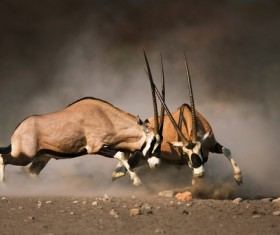 Fighting the antelope HD picture