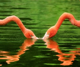 Flamingos drink Stock Photo