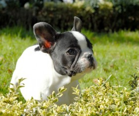 French Bulldog HD picture