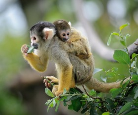 Golden monkey mother and child on branches HD picture