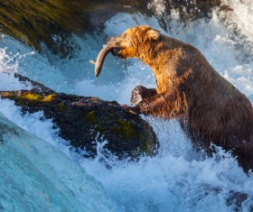 Grizzly bear hunt Stock Photo