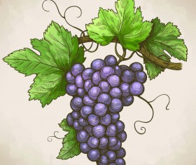 Hand drawn grapes retro vector