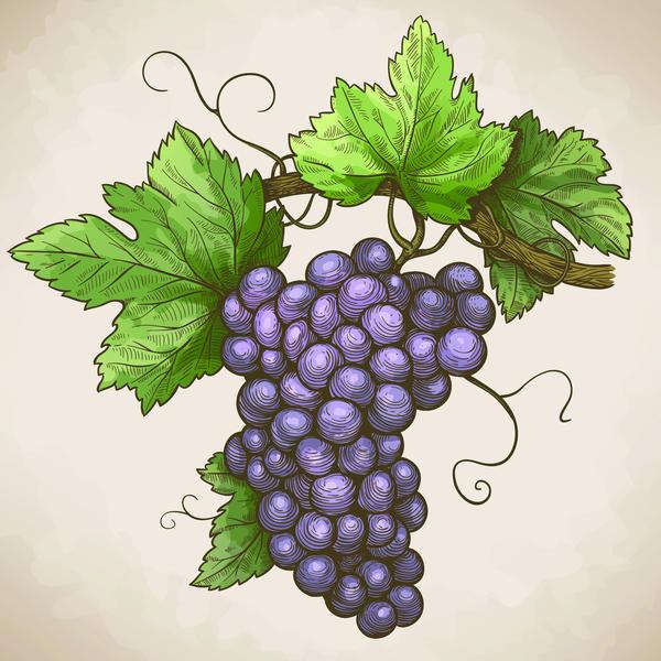 Hand drawn grapes retro vector