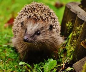 Hedgehog Stock Photo 11