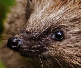 Hedgehog Stock Photo 12