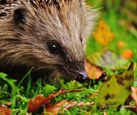 Hedgehog Stock Photo 13