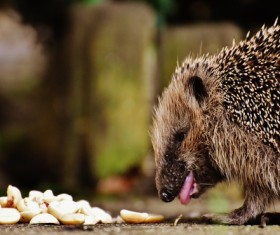 Hedgehog Stock Photo 15