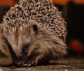 Hedgehog Stock Photo 16