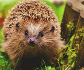 Hedgehog Stock Photo 17