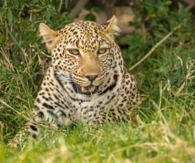 Hidden in the grass cheetah Stock Photo