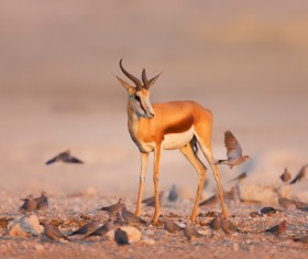 Jump antelope cubs and birds HD picture