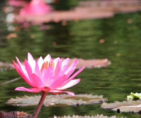 Lotus pond beautiful water lily flower Stock Photo