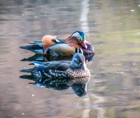 Mandarin ducks in the water Stock Photo