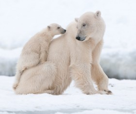 Polar bear mother and child on the ice Stock Photo