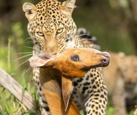 Prey the cheetah Stock Photo 04