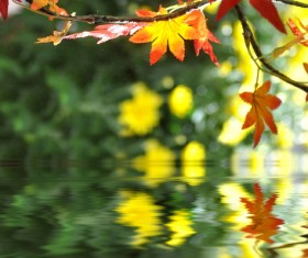 River red maple leaves Stock Photo